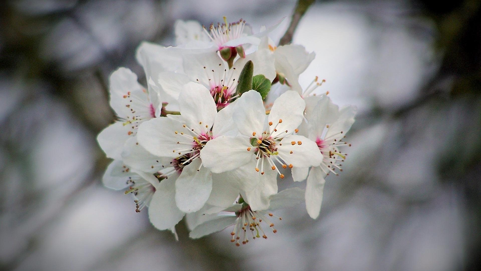 Kirschblütenwochen