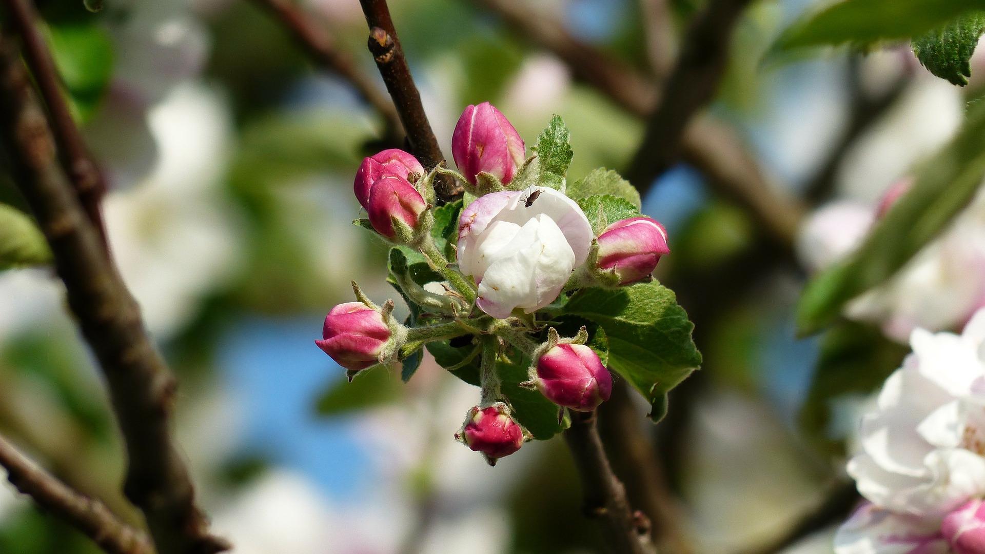 Apfelblütenwochen